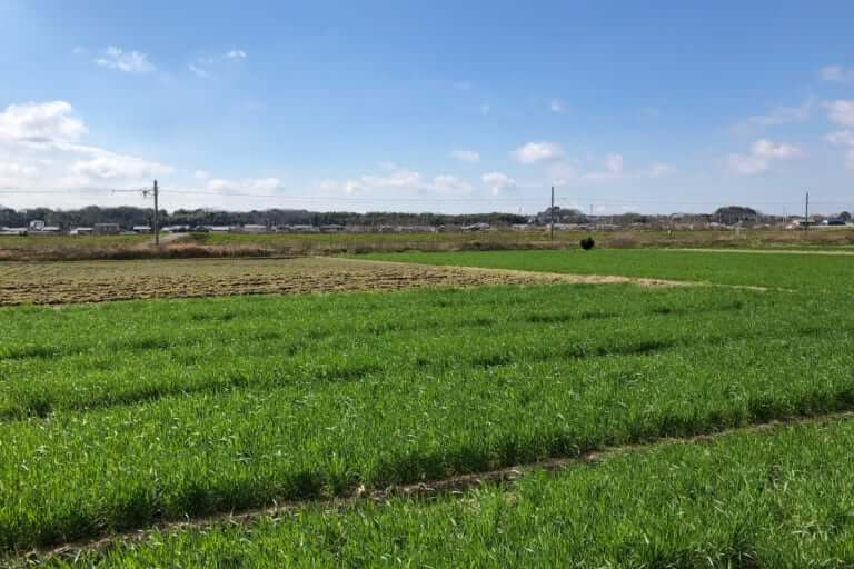 加古川の麦