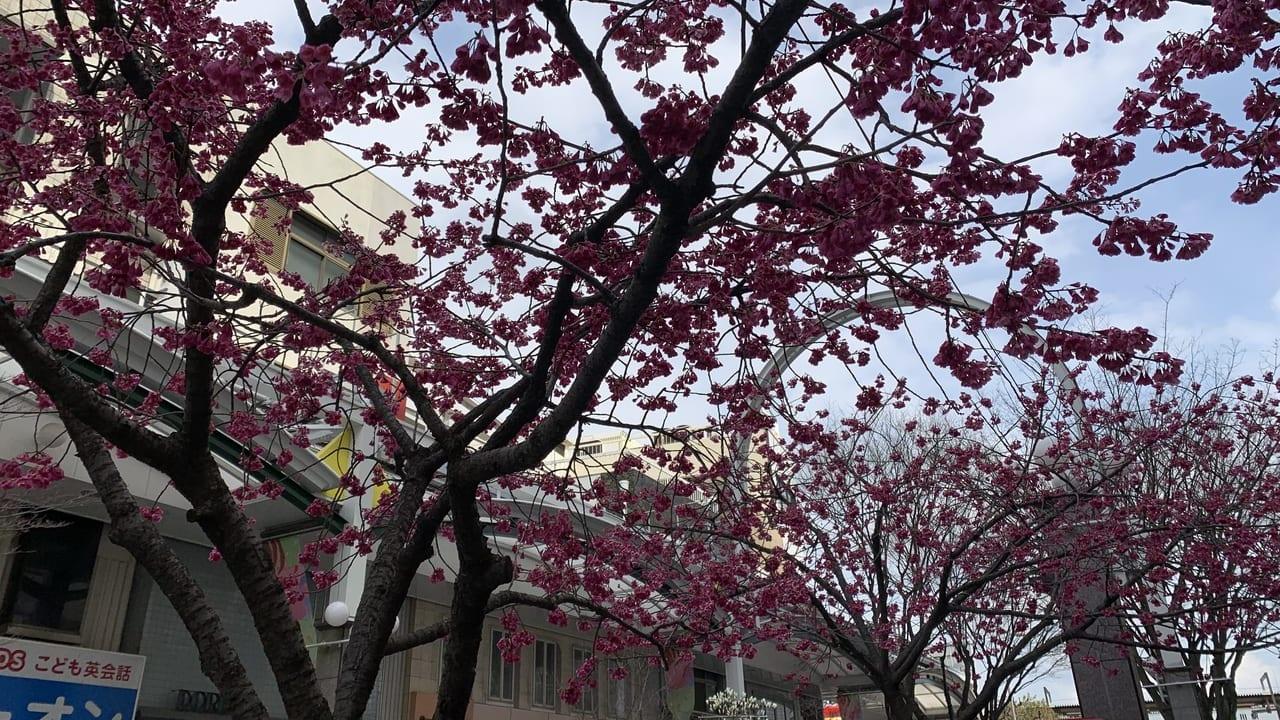 加古川の桜